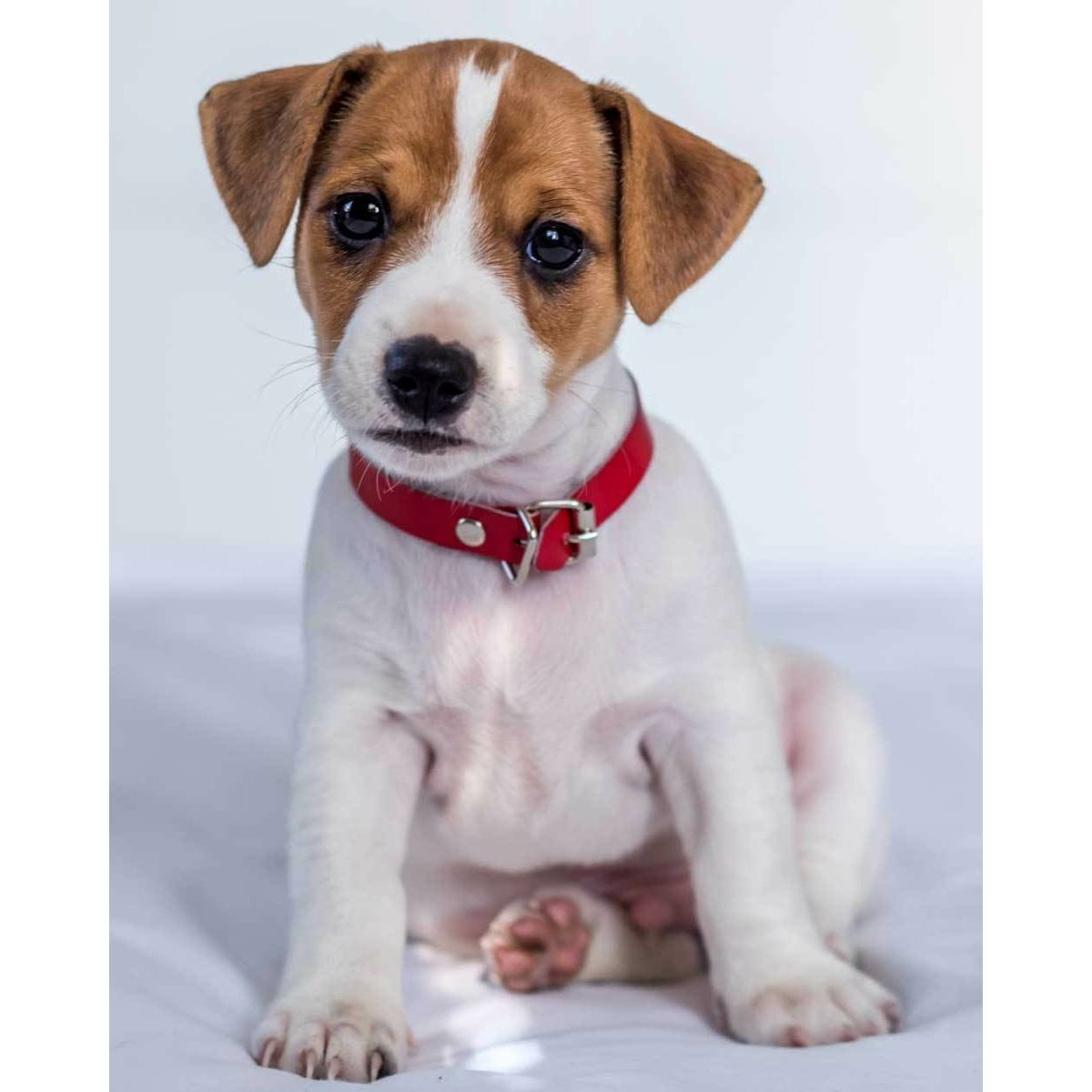 Jerry Fabrics Dětská deka Jack russel terrier, 120 x 150 cm