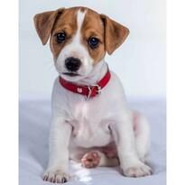 Detská deka Jack russel terrier, 120 x 150 cm
