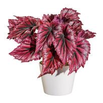 Umelá Begónia v kvetináči červená, 25 cm