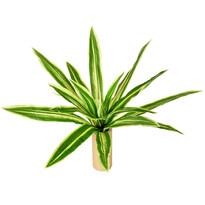 Neoregélia művirág, átmérő: 60 cm