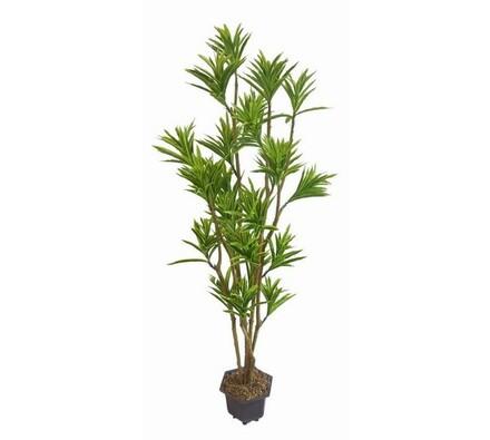 Strom yucca, 160 cm