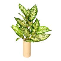 Dieffenbachia artificială verde, 45 cm