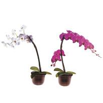 Öntapadós falmatrica, Orchidea